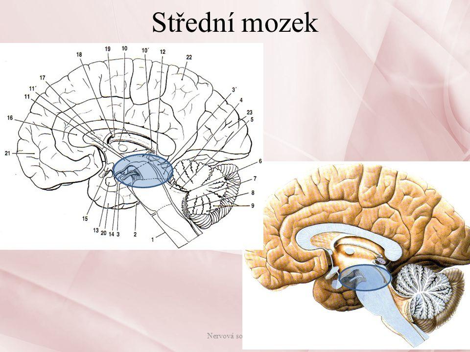 Mezimozek Mezimozek(diencephalon): – zcela zakryt koncovým mozkem – boční stěny mezimozku tvoří: pravý a levý hrbol mezimozkový = thalamus spodní stěnu podhrbolí = hypothalamus – uvnitř je III.