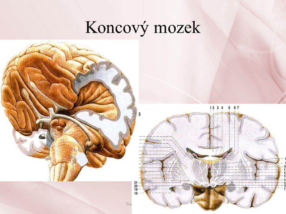 Nervová soustava Koncový mozek