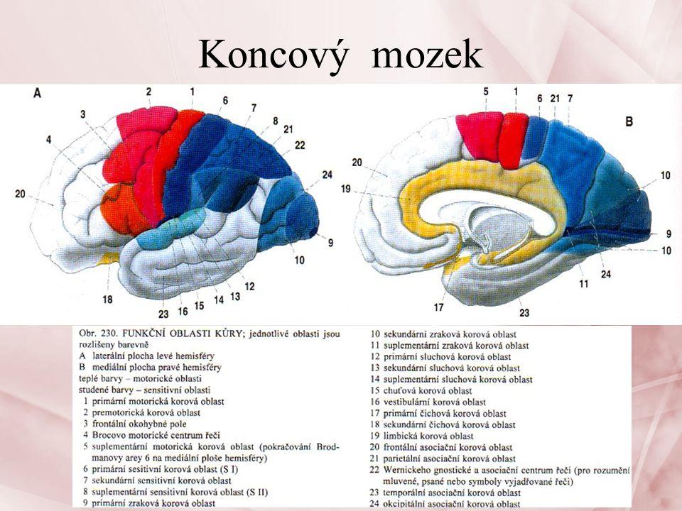 Limbický systém Nervová soustava26