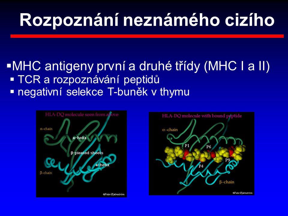 Rozpoznání neznámého cizího  MHC antigeny první a druhé třídy (MHC I a II)  TCR a rozpoznávání peptidů  negativní selekce T-buněk v thymu