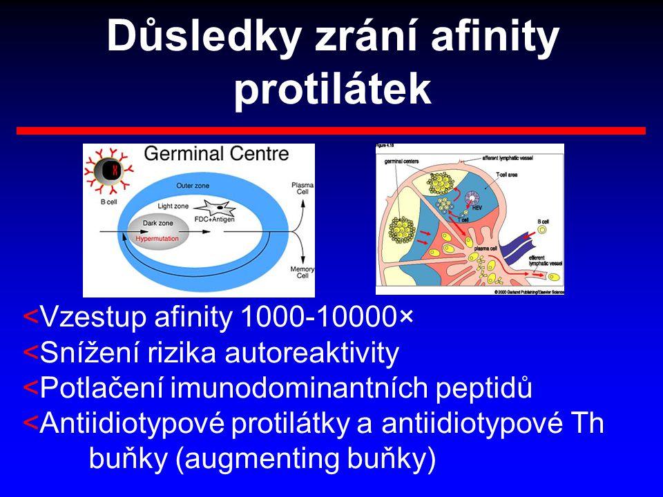 Důsledky zrání afinity protilátek <Vzestup afinity 1000-10000× <Snížení rizika autoreaktivity <Potlačení imunodominantních peptidů <Antiidiotypové pro
