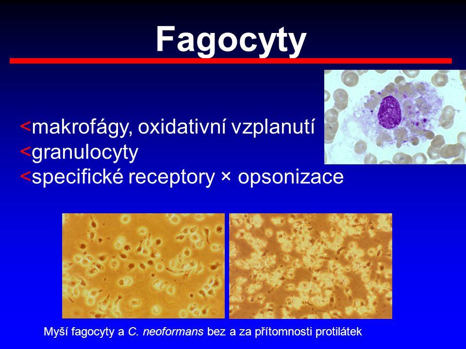 Fagocyty <makrofágy, oxidativní vzplanutí <granulocyty <specifické receptory × opsonizace Myší fagocyty a C. neoformans bez a za přítomnosti protiláte