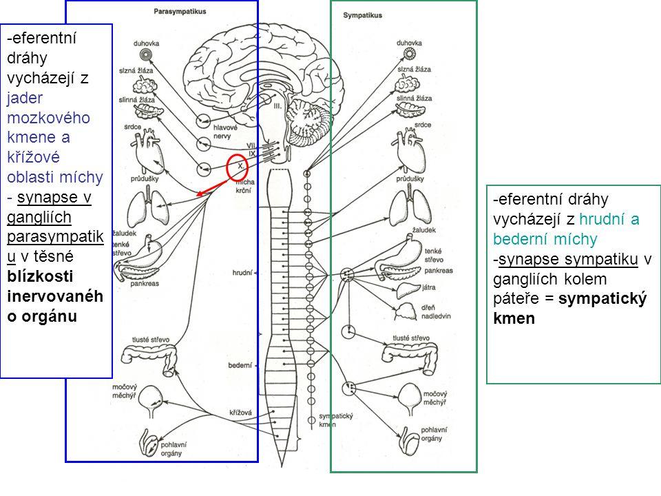 -eferentní dráhy vycházejí z hrudní a bederní míchy -synapse sympatiku v gangliích kolem páteře = sympatický kmen -eferentní dráhy vycházejí z jader m
