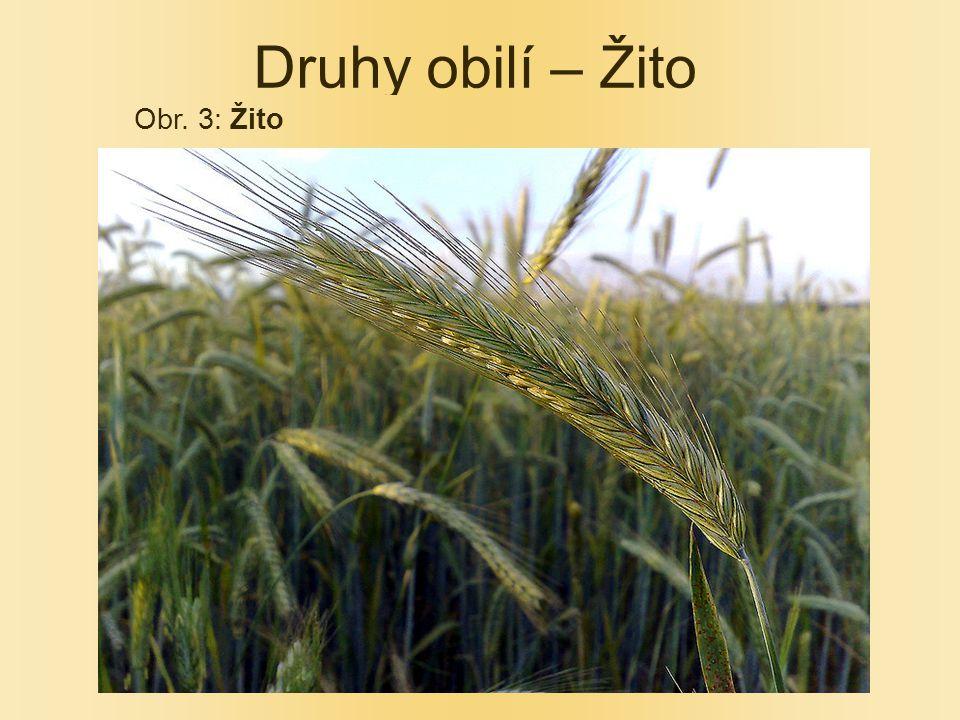 Druhy obilí – Žito Obr. 3: Žito