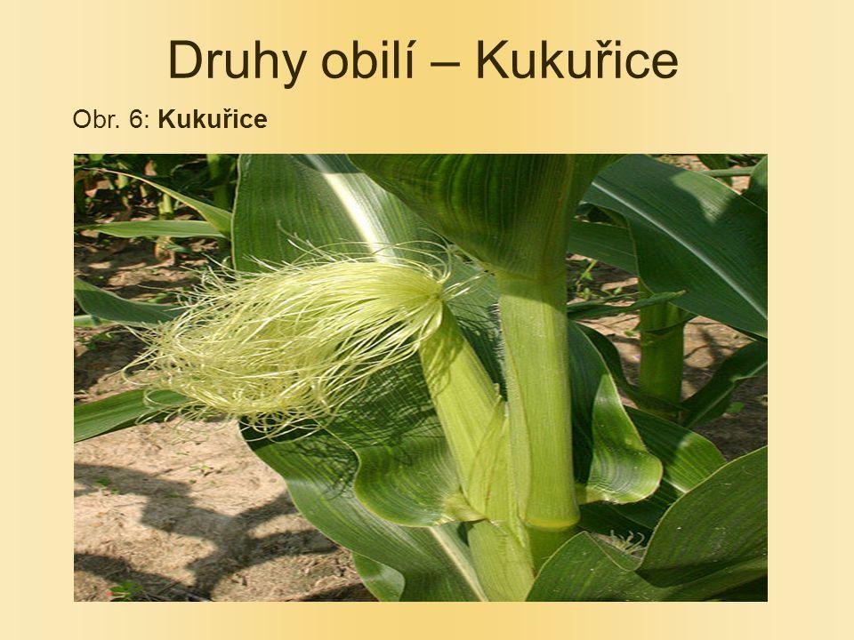 Druhy obilí – Kukuřice Obr. 6: Kukuřice
