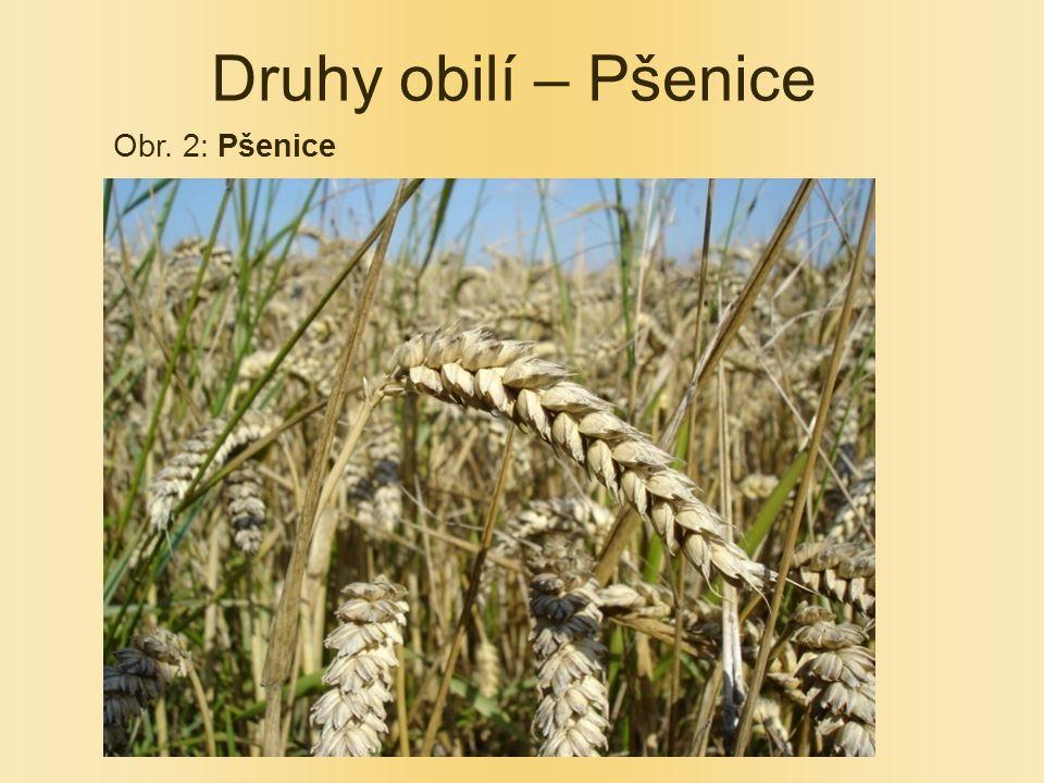 Druhy obilí – Pšenice Obr. 2: Pšenice