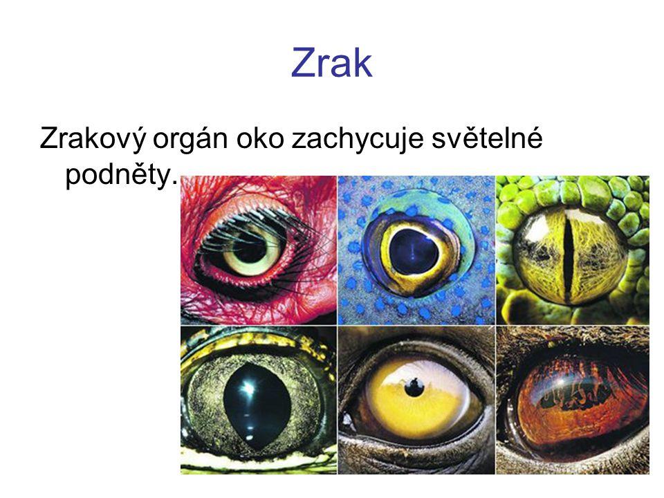 Zrak Zrakový orgán oko zachycuje světelné podněty.