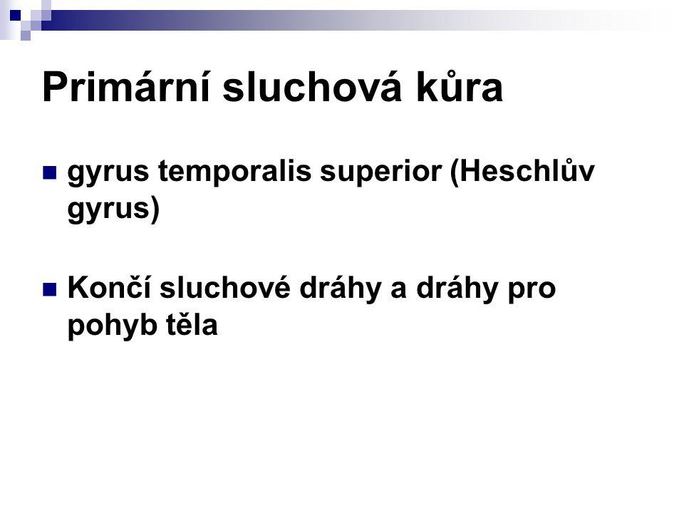 Primární sluchová kůra gyrus temporalis superior (Heschlův gyrus) Končí sluchové dráhy a dráhy pro pohyb těla