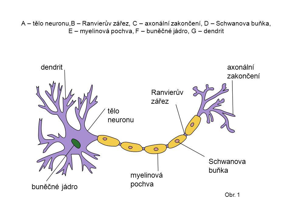 A – tělo neuronu,B – Ranvierův zářez, C – axonální zakončení, D – Schwanova buňka, E – myelinová pochva, F – buněčné jádro, G – dendrit dendrit tělo n