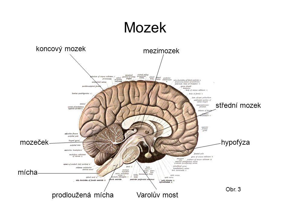 Mozek Obr. 3 koncový mozek mezimozek střední mozek Varolův most hypofýza prodloužená mícha mozeček mícha