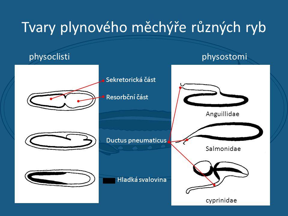 Tvary plynového měchýře různých ryb physoclistiphysostomi Anguillidae Salmonidae cyprinidae Sekretorická část Resorbční část Ductus pneumaticus Hladká