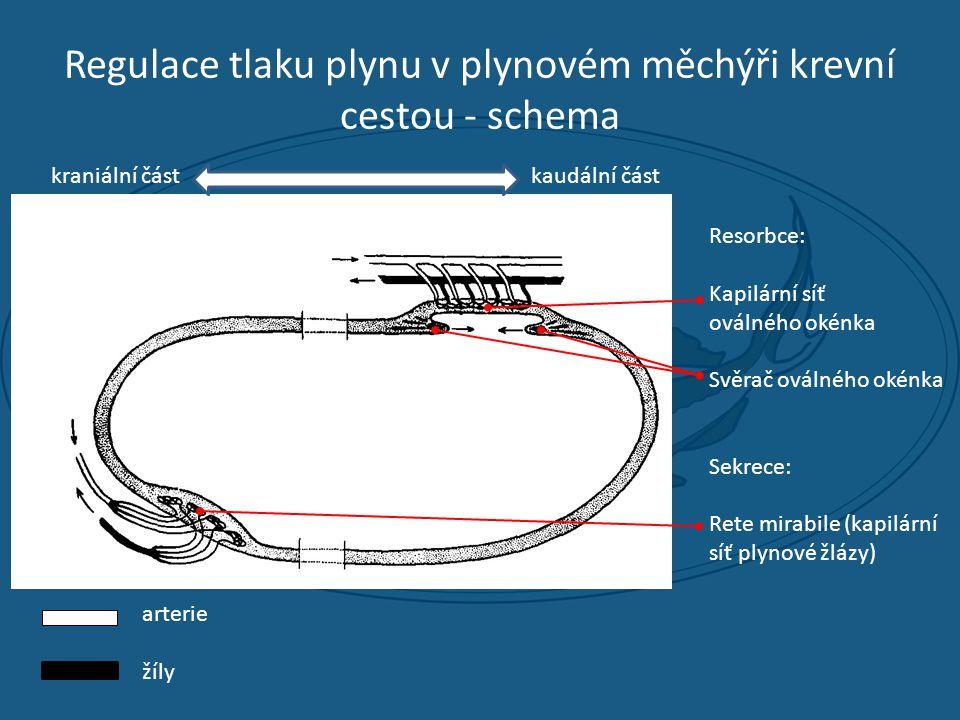 Regulace tlaku plynu v plynovém měchýři krevní cestou - schema Resorbce: Kapilární síť oválného okénka Svěrač oválného okénka Sekrece: Rete mirabile (