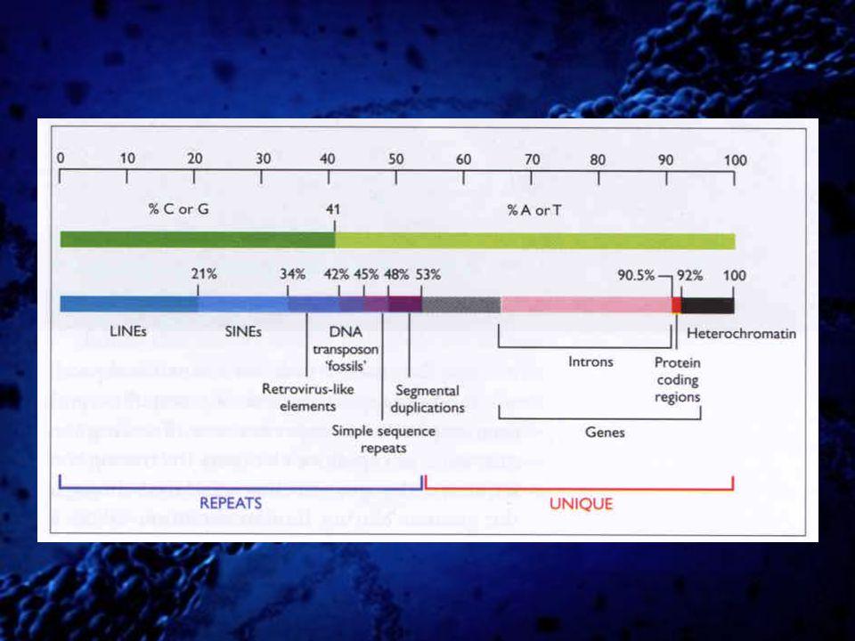 A rthrobacter lu theus – Alu repetice zbytek restrikční endonukleázy (7SL RNA) 299 bp dlouhá, v lidském genomu je cca 1.000.000 kopií (10,7% genomu) http://en.wikipedia.org/wiki/File:PLoSBiol3.5.Fig7ChromosomesAluFish.jpg