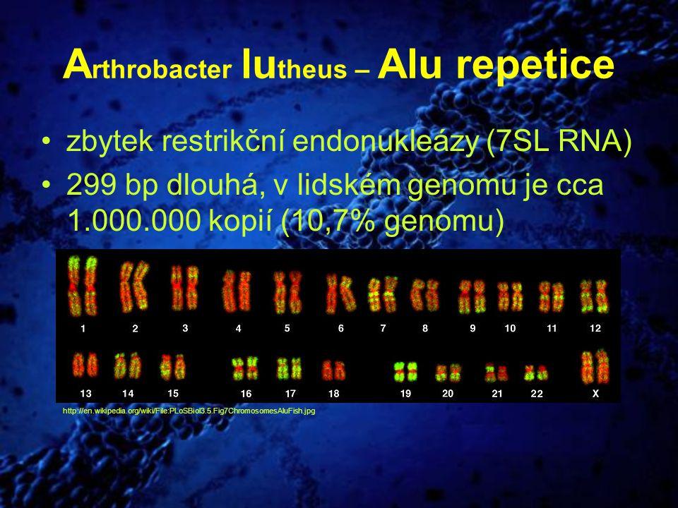A rthrobacter lu theus – Alu repetice zbytek restrikční endonukleázy (7SL RNA) 299 bp dlouhá, v lidském genomu je cca 1.000.000 kopií (10,7% genomu) h