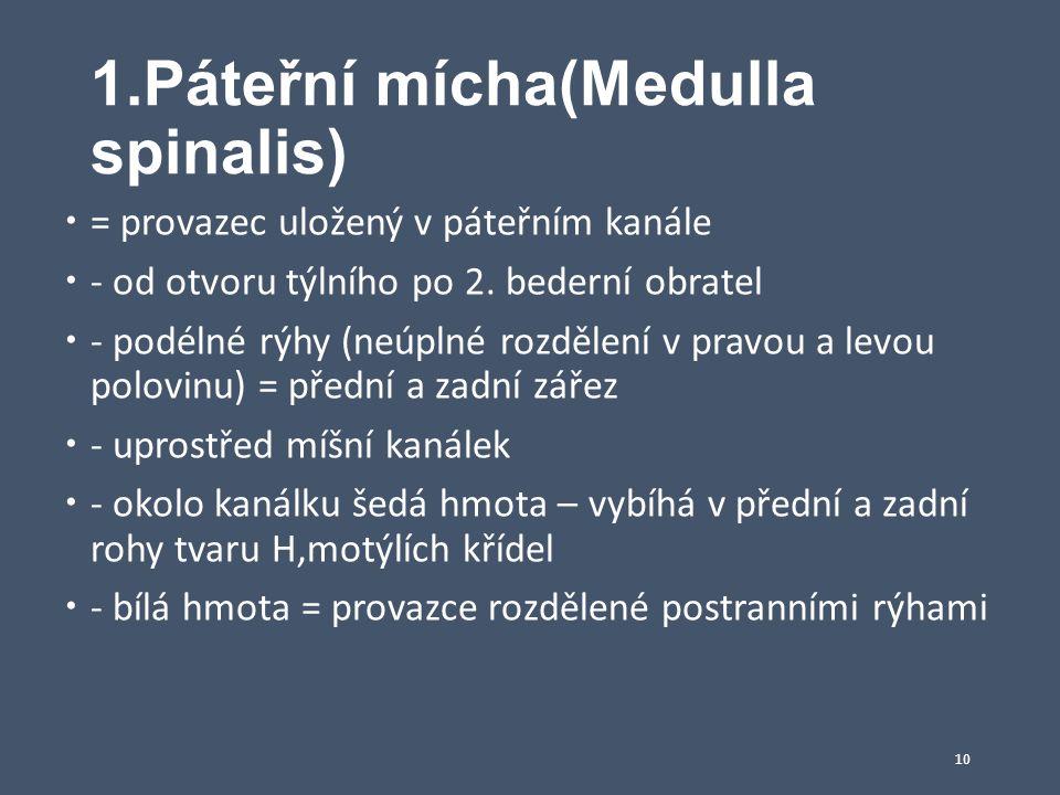 1.Páteřní mícha(Medulla spinalis)  = provazec uložený v páteřním kanále  - od otvoru týlního po 2. bederní obratel  - podélné rýhy (neúplné rozděle