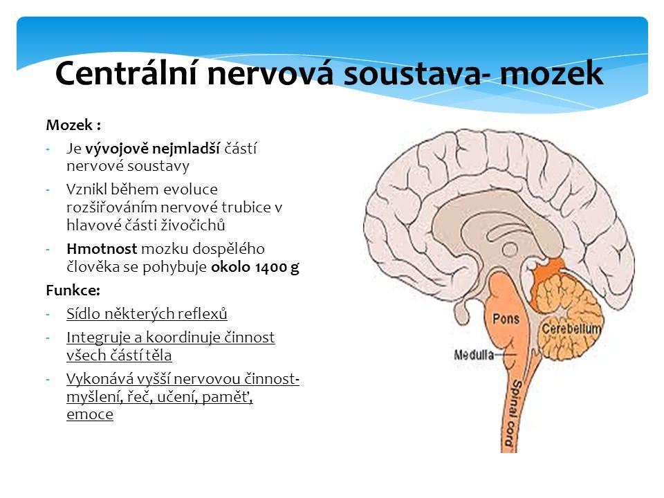 Mozek : -Je vývojově nejmladší částí nervové soustavy -Vznikl během evoluce rozšiřováním nervové trubice v hlavové části živočichů -Hmotnost mozku dos