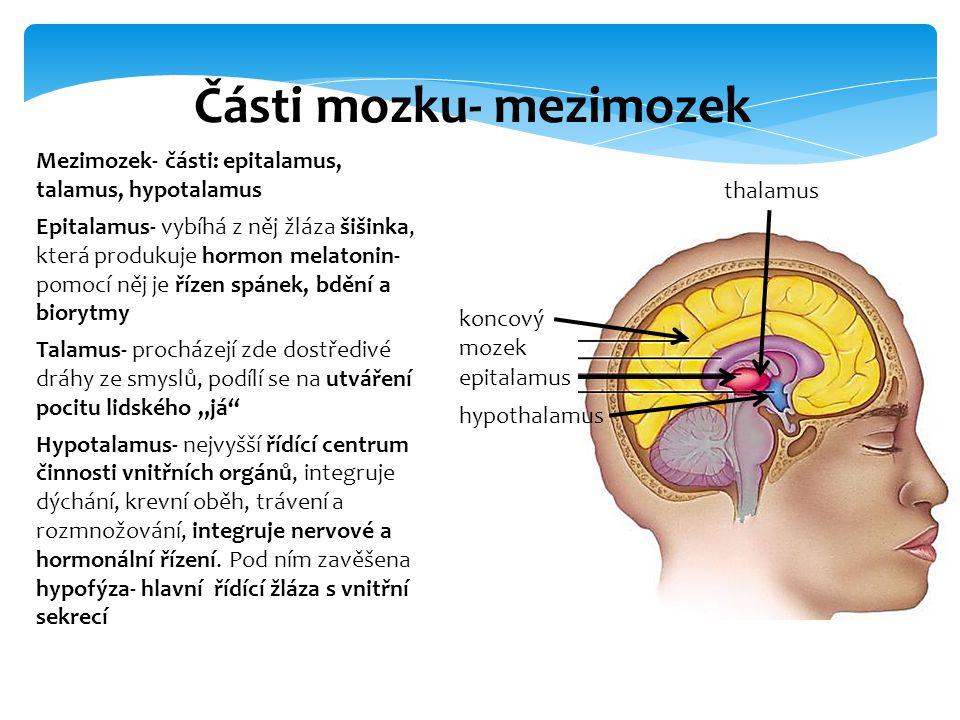 Mezimozek- části: epitalamus, talamus, hypotalamus Epitalamus- vybíhá z něj žláza šišinka, která produkuje hormon melatonin- pomocí něj je řízen spáne