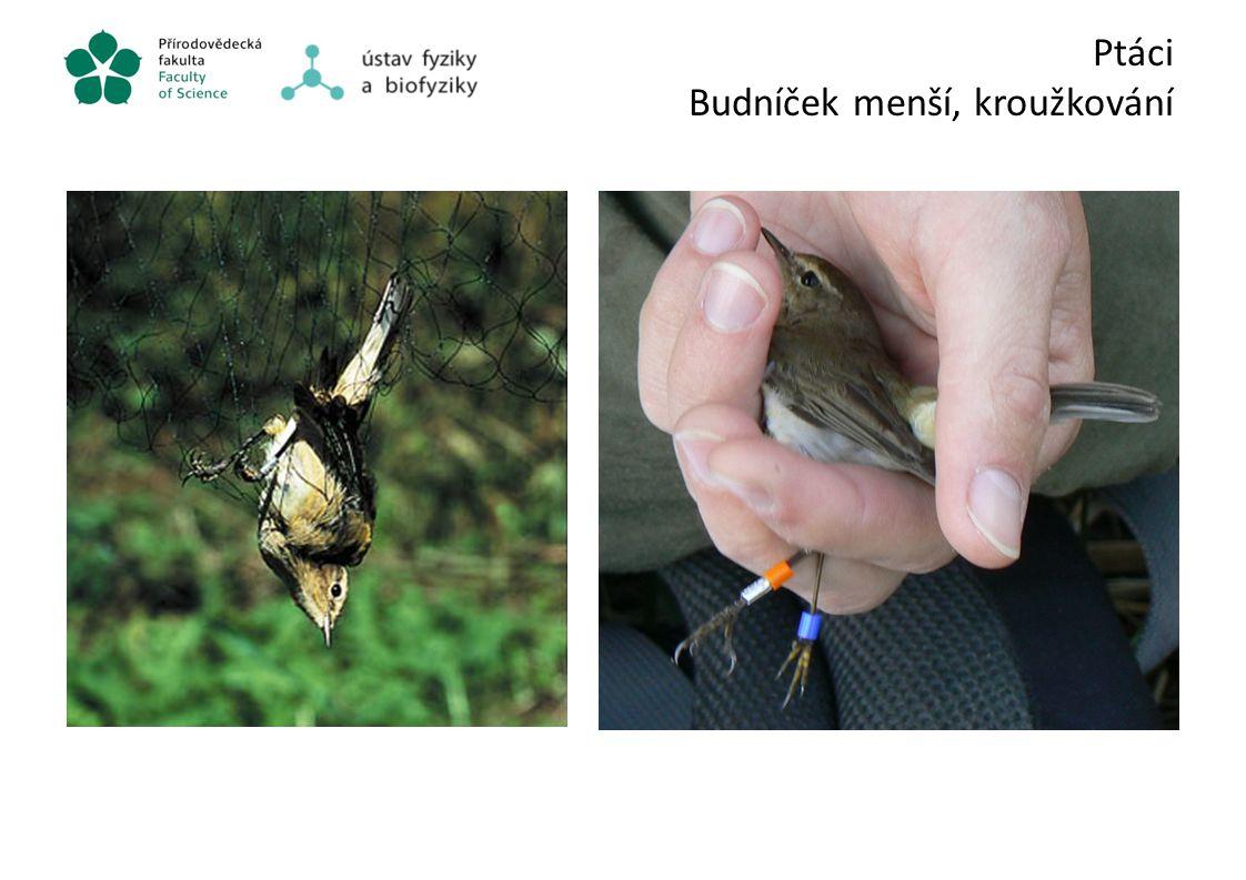 Ptáci Budníček menší, kroužkování