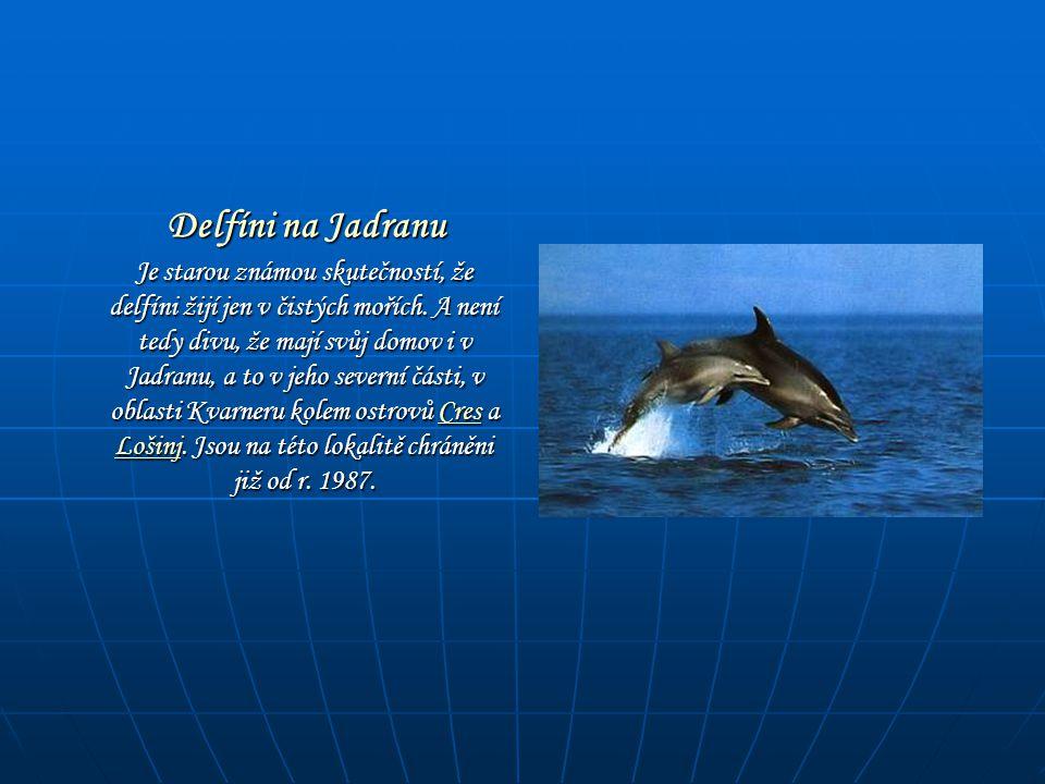 Delfíni na Jadranu Delfíni na Jadranu Je starou známou skutečností, že delfíni žijí jen v čistých mořích. A není tedy divu, že mají svůj domov i v Jad