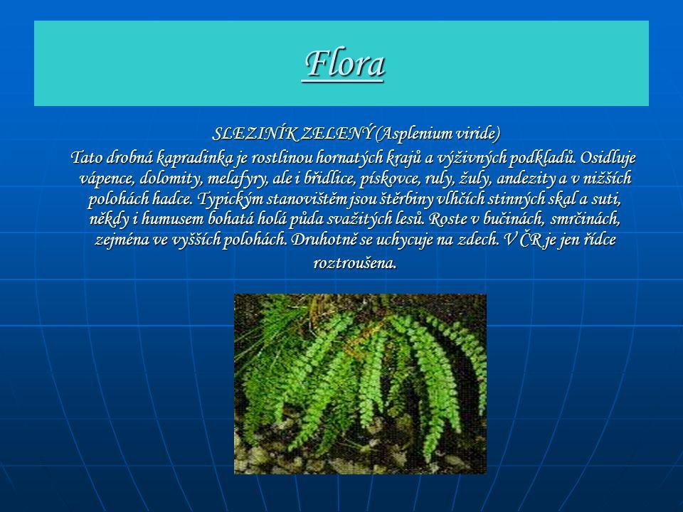 Flora SLEZINÍK ZELENÝ (Asplenium viride) SLEZINÍK ZELENÝ (Asplenium viride) Tato drobná kapradinka je rostlinou hornatých krajů a výživných podkladů.