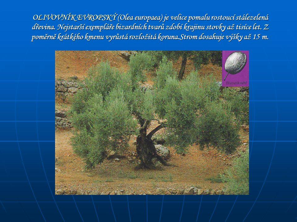 OLIVOVNÍK EVROPSKÝ (Olea europaea) je velice pomalu rostoucí stálezelená dřevina. Nejstarší exempláře bizardních tvarů zdobí krajinu stovky až tisíce