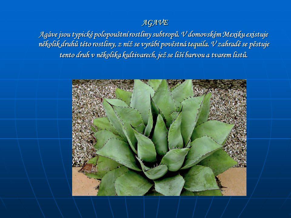 AGAVE AGAVE Agáve jsou typické polopouštní rostliny subtropů. V domovském Mexiku existuje několik druhů této rostliny, z níž se vyrábí pověstná tequil