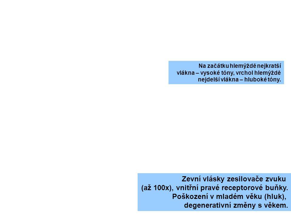 Zevní vlásky zesilovače zvuku (až 100x), vnitřní pravé receptorové buňky. Poškození v mladém věku (hluk), degenerativní změny s věkem. Na začátku hlem