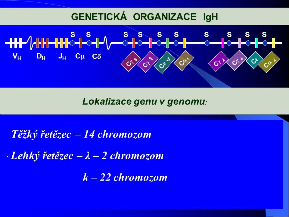 GENETICKÁ ORGANIZACE IgH VHVH DHDH JHJH SSSSSSSSSS CC CC C 3C 3 C  1 C C  C1C1 C 2C 2 C 4C 4 CC C 2C 2 Lokalizace genu v genomu :