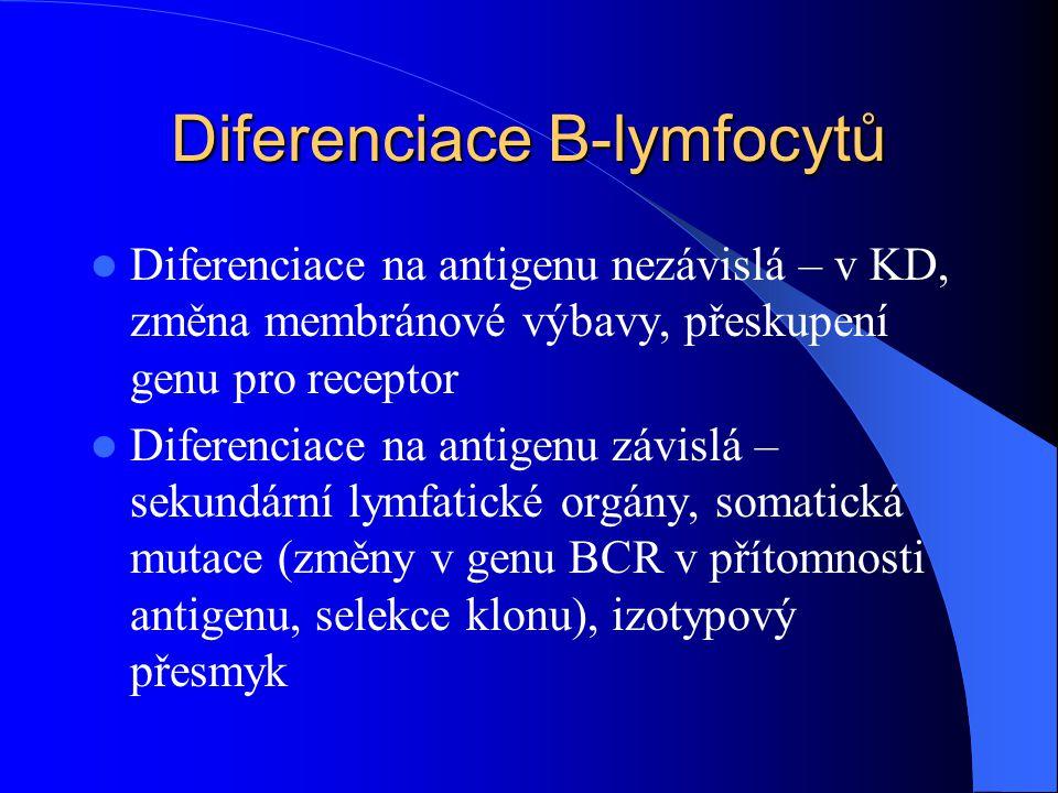 Diferenciace B-lymfocytů Diferenciace na antigenu nezávislá – v KD, změna membránové výbavy, přeskupení genu pro receptor Diferenciace na antigenu záv