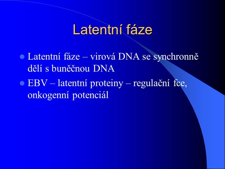 Latentní fáze Latentní fáze – virová DNA se synchronně dělí s buněčnou DNA EBV – latentní proteiny – regulační fce, onkogenní potenciál