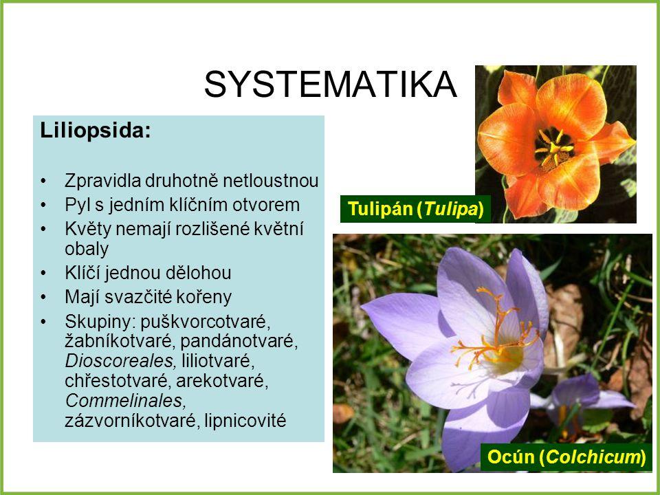 SYSTEMATIKA Liliopsida: Zpravidla druhotně netloustnou Pyl s jedním klíčním otvorem Květy nemají rozlišené květní obaly Klíčí jednou dělohou Mají svazčité kořeny Skupiny: puškvorcotvaré, žabníkotvaré, pandánotvaré, Dioscoreales, liliotvaré, chřestotvaré, arekotvaré, Commelinales, zázvorníkotvaré, lipnicovité Tulipán (Tulipa) Ocún (Colchicum)