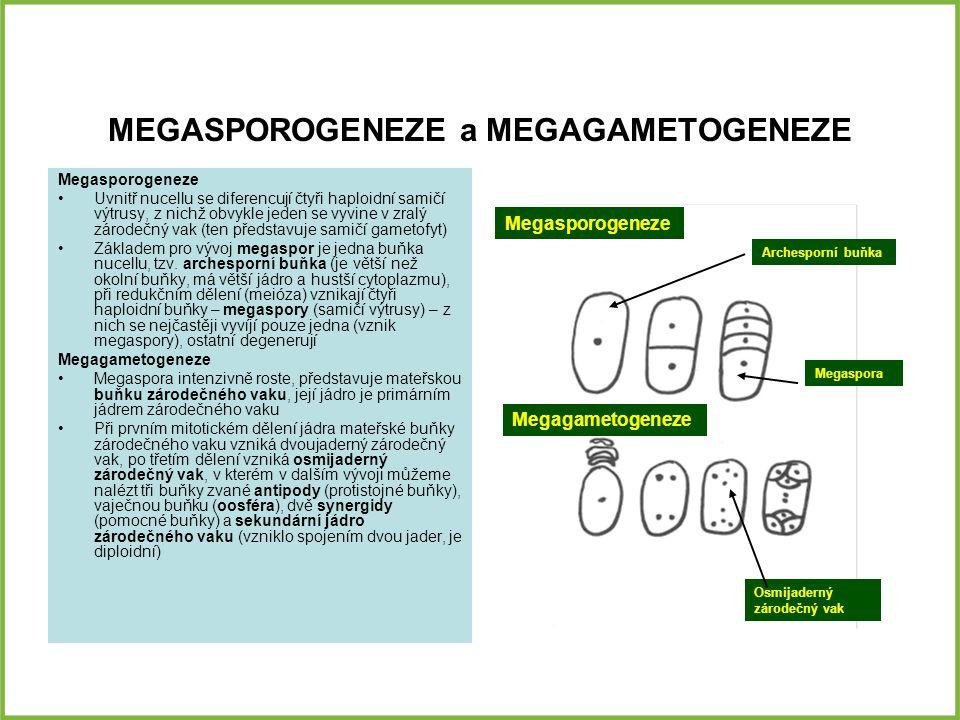 MEGASPOROGENEZE a MEGAGAMETOGENEZE Megasporogeneze Uvnitř nucellu se diferencují čtyři haploidní samičí výtrusy, z nichž obvykle jeden se vyvine v zralý zárodečný vak (ten představuje samičí gametofyt) Základem pro vývoj megaspor je jedna buňka nucellu, tzv.