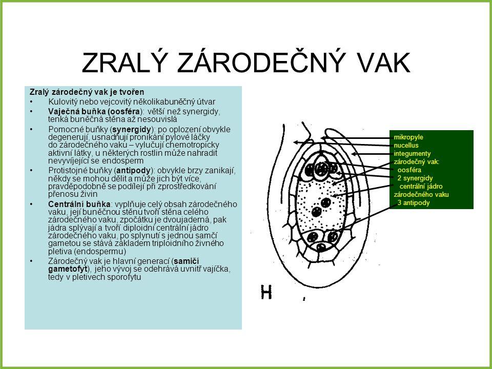 ZRALÝ ZÁRODEČNÝ VAK Zralý zárodečný vak je tvořen Kulovitý nebo vejcovitý několikabuněčný útvar Vaječná buňka (oosféra): větší než synergidy, tenká buněčná stěna až nesouvislá Pomocné buňky (synergidy): po oplození obvykle degenerují, usnadňují pronikání pylové láčky do zárodečného vaku – vylučují chemotropicky aktivní látky, u některých rostlin může nahradit nevyvíjející se endosperm Protistojné buňky (antipody): obvykle brzy zanikají, někdy se mohou dělit a může jich být více, pravděpodobně se podílejí při zprostředkování přenosu živin Centrální buňka: vyplňuje celý obsah zárodečného vaku, její buněčnou stěnu tvoří stěna celého zárodečného vaku, zpočátku je dvoujaderná, pak jádra splývají a tvoří diploidní centrální jádro zárodečného vaku, po splynutí s jednou samčí gametou se stává základem triploidního živného pletiva (endospermu) Zárodečný vak je hlavní generací (samičí gametofyt), jeho vývoj se odehrává uvnitř vajíčka, tedy v pletivech sporofytu mikropyle nucellus integumenty zárodečný vak: oosféra 2 synergidy centrální jádro zárodečného vaku 3 antipody