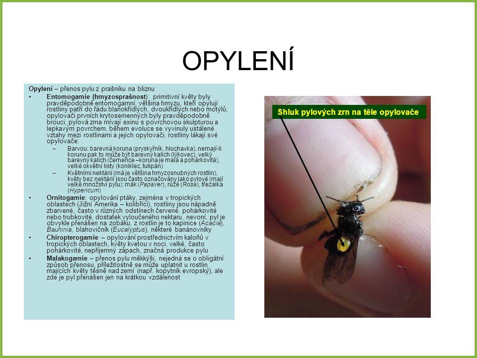 OPYLENÍ Opylení – přenos pylu z prašníku na bliznu Entomogamie (hmyzosprašnost): primitivní květy byly pravděpodobně entomogamní, většina hmyzu, kteří opylují rostliny patří do řádu blanokřídlých, dvoukřídlých nebo motýlů, opylovači prvních krytosemenných byly pravděpodobně brouci, pylová zrna mívají exinu s povrchovou skulpturou a lepkavým povrchem, během evoluce se vyvinuly ustálené vztahy mezi rostlinami a jejich opylovači, rostliny lákají své opylovače: –Barvou: barevná koruna (pryskyřník, hluchavka), nemají-li korunu pak to může být barevný kalich (lýkovec), velký barevný kalich (čemeřice –koruna je malá a pohárkovitá), velké okvětní listy (koniklec, tulipán) –Květními nektárii (má je většina hmyzosnubných rostlin), květy bez nektárií jsou často označovány jako pylové (mají velké množství pylu): mák (Papaver), růže (Rosa), třezalka (Hypericum) Ornitogamie: opylování ptáky, zejména v tropických oblastech (Jižní Amerika – kolibříci), rostliny jsou nápadně zbarvené, často v různých odstínech červené, pohárkovité nebo trubkovité, dostatek vyloučeného nektaru, nevoní, pyl je obvykle přenášen na zobáku, z rostlin je to kapinice (Acacia), Bauhinia, blahovičník (Eucalyptus), některé banánovníky Chiropterogamie – opylování prostřednictvím kaloňů v tropických oblastech, květy kvetou v noci, velké, často pohárkovité, nepříjemný zápach, značná produkce pylu Malakogamie – přenos pylu měkkýši, nejedná se o obligátní způsob přenosu, příležitostně se může uplatnit u rostlin majících květy těsně nad zemí (např.