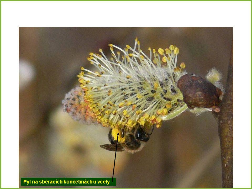 Pyl na sběracích končetinách u včely