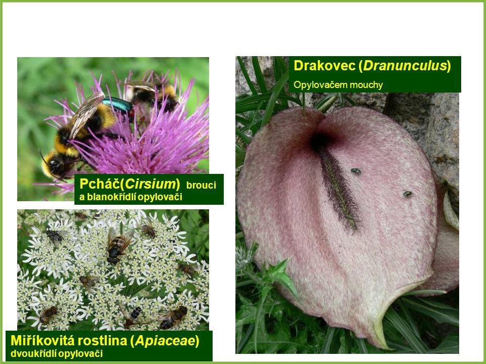 Pcháč(Cirsium) brouci a blanokřídlí opylovači Miříkovitá rostlina (Apiaceae) dvoukřídlí opylovači Drakovec (Dranunculus) Opylovačem mouchy