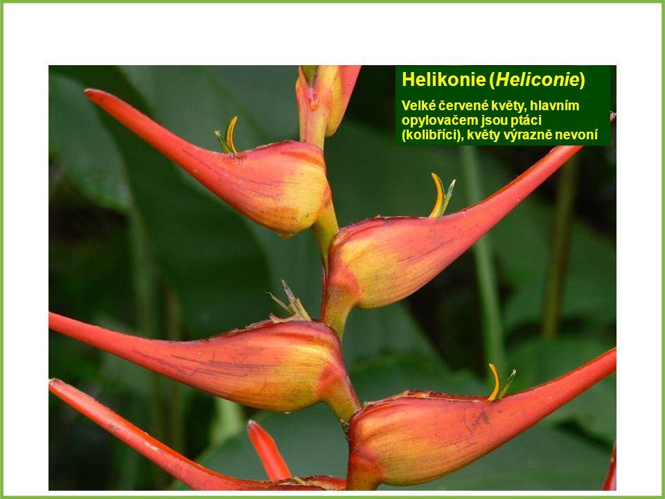 Helikonie (Heliconie) Velké červené květy, hlavním opylovačem jsou ptáci (kolibříci), květy výrazně nevoní