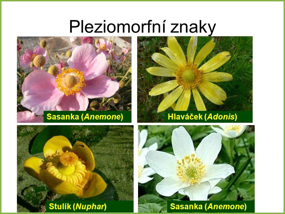 Pleziomorfní znaky Sasanka (Anemone) Stulík (Nuphar) Hlaváček (Adonis) Sasanka (Anemone)
