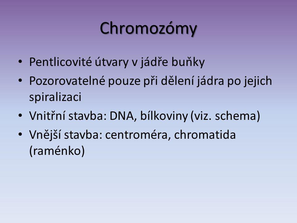 Chromozómy Pentlicovité útvary v jádře buňky Pozorovatelné pouze při dělení jádra po jejich spiralizaci Vnitřní stavba: DNA, bílkoviny (viz. schema) V