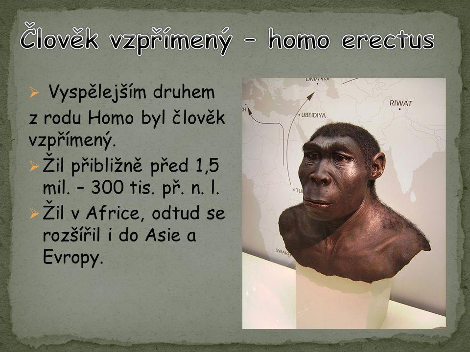  Vyspělejším druhem z rodu Homo byl člověk vzpřímený.  Žil přibližně před 1,5 mil. – 300 tis. př. n. l.  Žil v Africe, odtud se rozšířil i do Asie