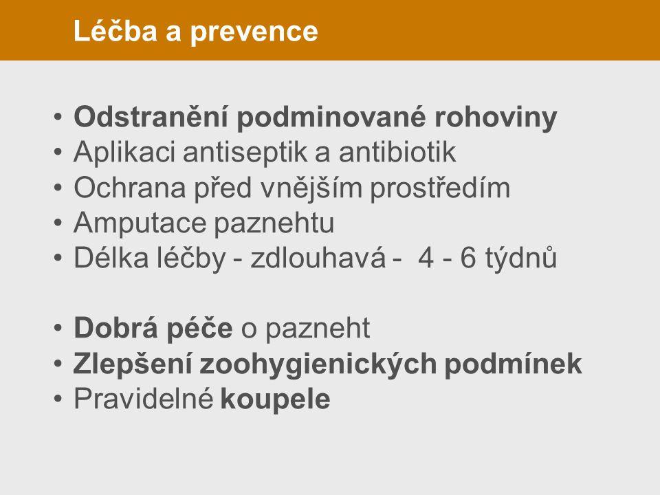 Léčba a prevence Odstranění podminované rohoviny Aplikaci antiseptik a antibiotik Ochrana před vnějším prostředím Amputace paznehtu Délka léčby - zdl