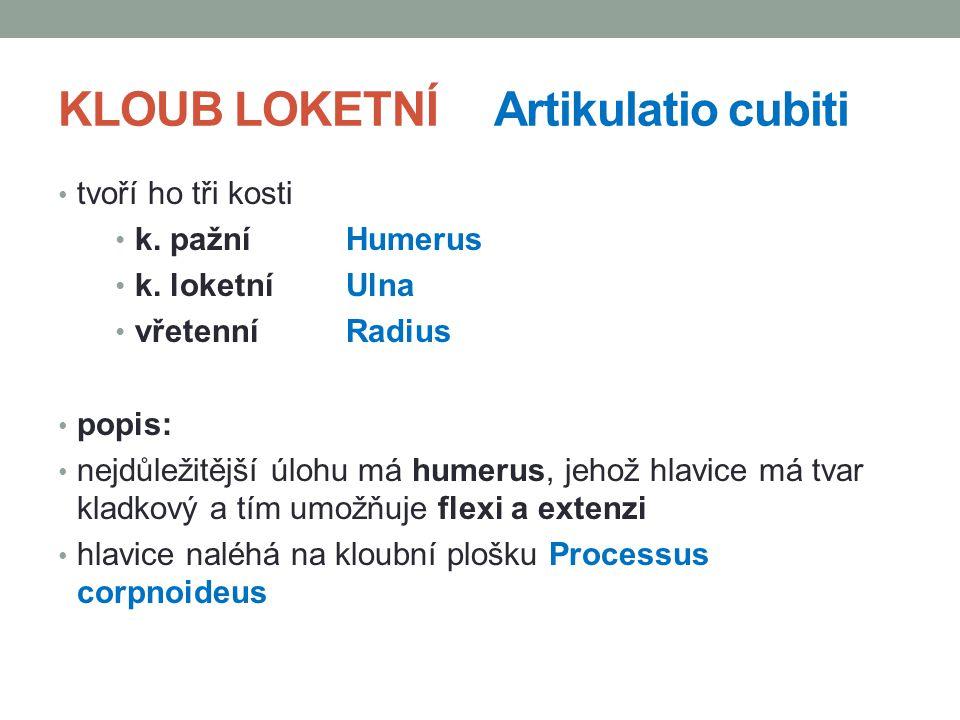 KLOUB LOKETNÍ Artikulatio cubiti tvoří ho tři kosti k. pažní Humerus k. loketní Ulna vřetenníRadius popis: nejdůležitější úlohu má humerus, jehož hlav