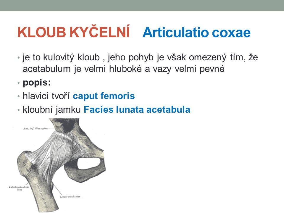 KLOUB KYČELNÍ Articulatio coxae je to kulovitý kloub, jeho pohyb je však omezený tím, že acetabulum je velmi hluboké a vazy velmi pevné popis: hlavici tvoří caput femoris kloubní jamku Facies lunata acetabula