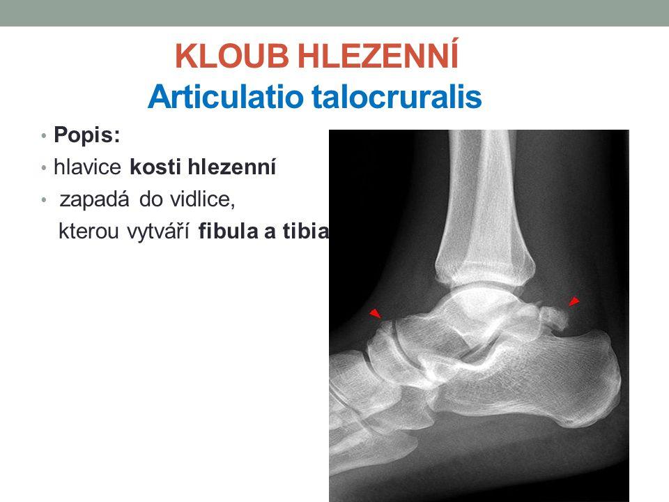 KLOUB HLEZENNÍ Articulatio talocruralis Popis: hlavice kosti hlezenní zapadá do vidlice, kterou vytváří fibula a tibia