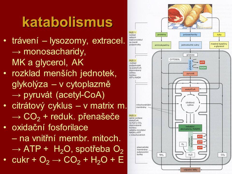 21 katabolismus katabolismus trávení – lysozomy, extracel. → monosacharidy, MK a glycerol, AK rozklad menších jednotek, glykolýza – v cytoplazmě → pyr