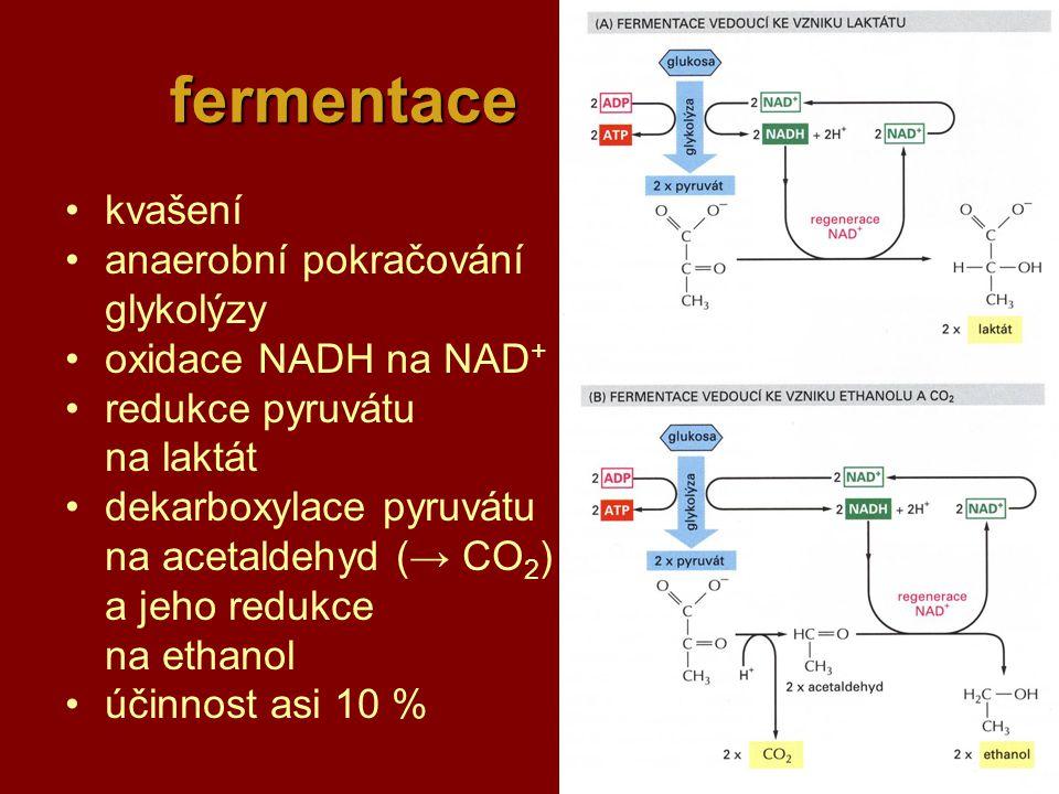 23 fermentace kvašení anaerobní pokračování glykolýzy oxidace NADH na NAD + redukce pyruvátu na laktát dekarboxylace pyruvátu na acetaldehyd (→ CO 2 )