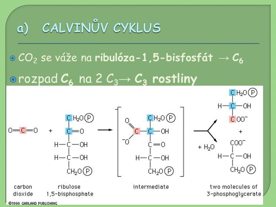  CO 2 se váže na ribulóza-1,5-bisfosfát → C 6  rozpad C 6 na 2 C 3 → C 3 rostliny  dalšími reakcemi vzniká C 6 cukr  část regeneruje zpět na ribul