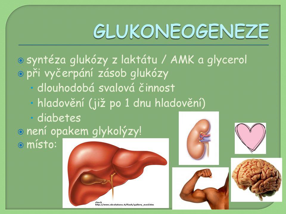  syntéza glukózy z laktátu / AMK a glycerol  při vyčerpání zásob glukózy dlouhodobá svalová činnost hladovění (již po 1 dnu hladovění) diabetes  ne
