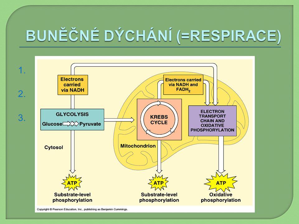 1. glykolýza 2. Krebsův cyklus 3. dýchací řetězec