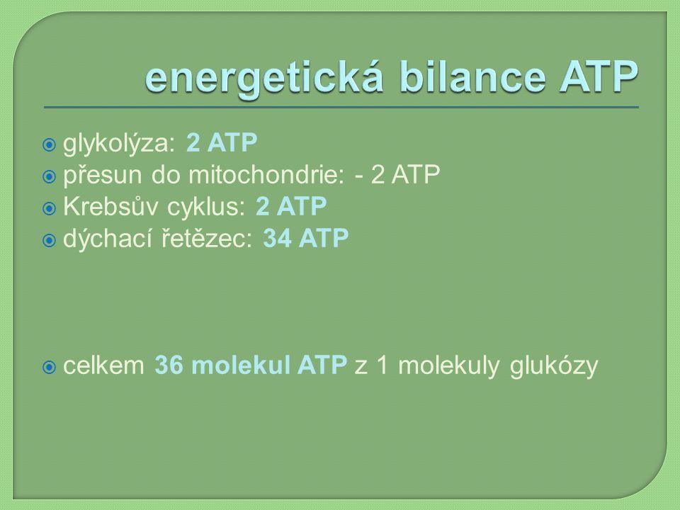  glykolýza: 2 ATP  přesun do mitochondrie: - 2 ATP  Krebsův cyklus: 2 ATP  dýchací řetězec: 34 ATP  celkem 36 molekul ATP z 1 molekuly glukózy